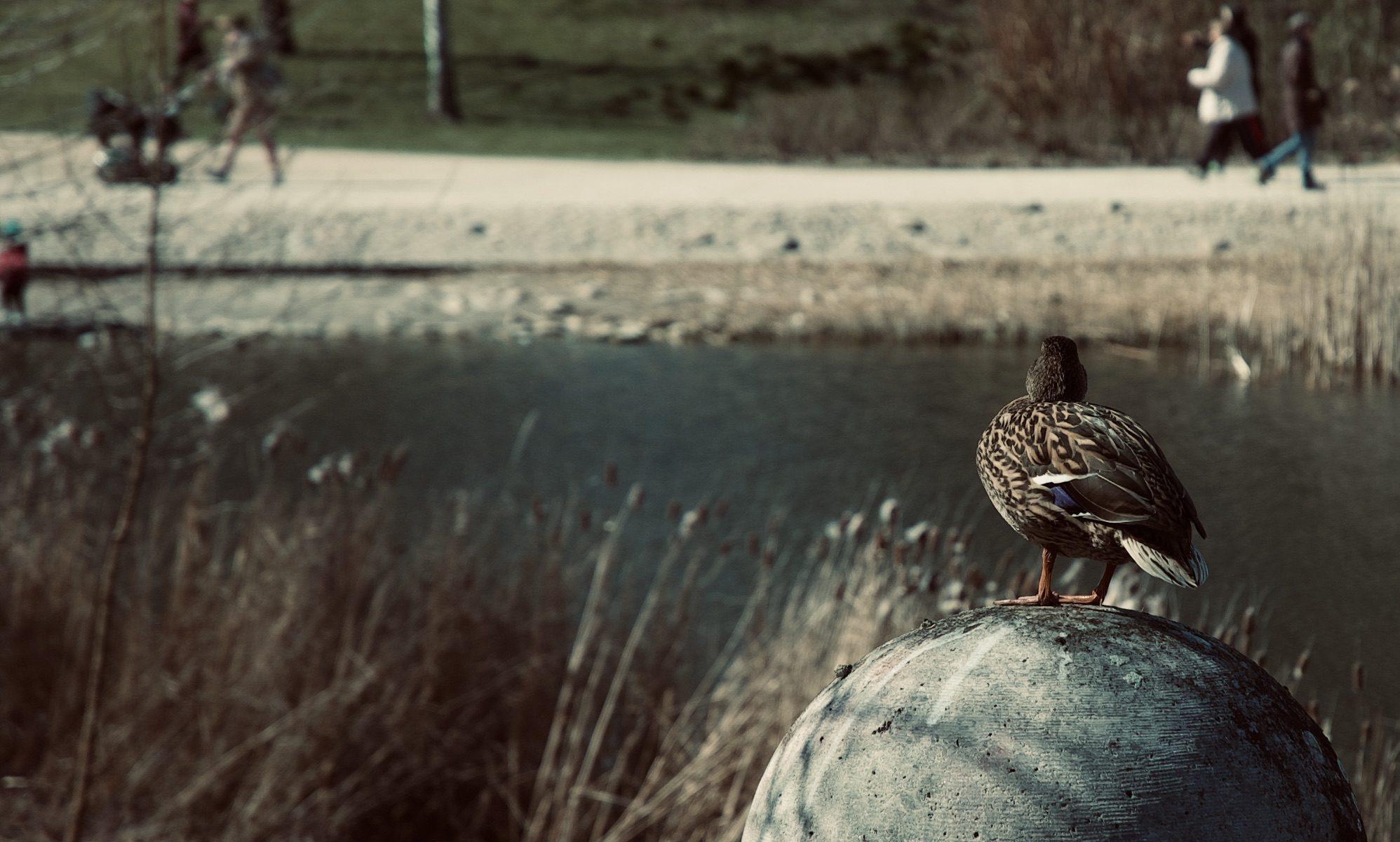 Die Ente staunt und wundert sich.